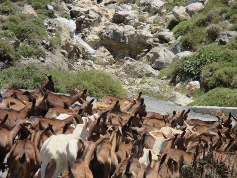 goats near preveli .jpg